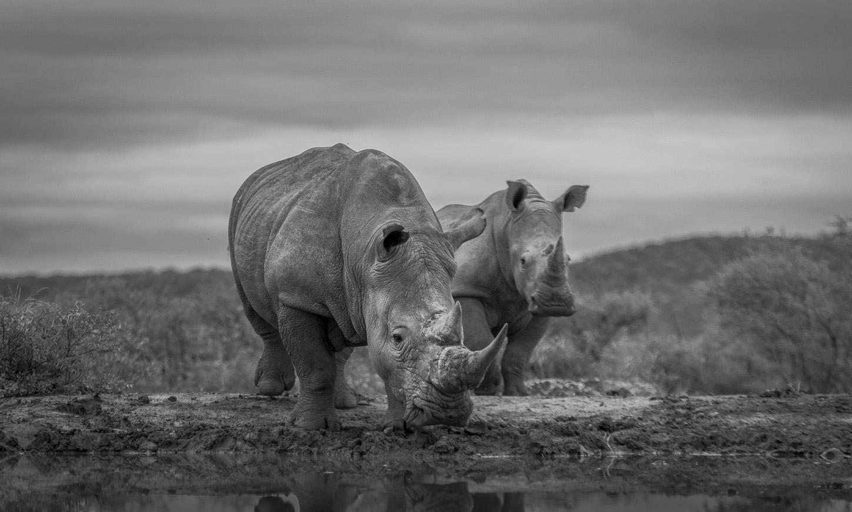 white-rhino-greyscale